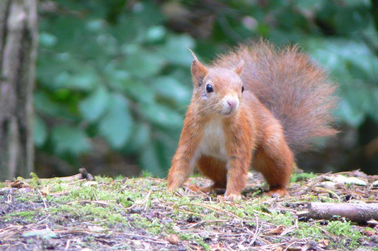 esquilo vermelho Inglaterra