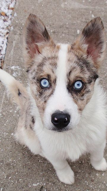 Shepsky Puppy |  20 Strangely Cute Hybrid Husky Breeds You Never Knew Existed