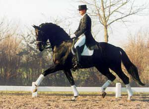 Gribaldi by Kostolony and Gandola II. Gribaldi is a 1993 black16.3-1/2-hand Trakehner stallion.  At the 2006 Zwolle Stallion Show Gribaldi was Champion of the Grand Prix 'Kur to Music' scoring 75.35%, and placed second in the Grand Prix class scoring 69.96% under the careful hand of Edward Gal.