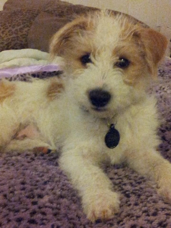 Jack Russell Yorkie Mix Kitties Other Friends Pinterest