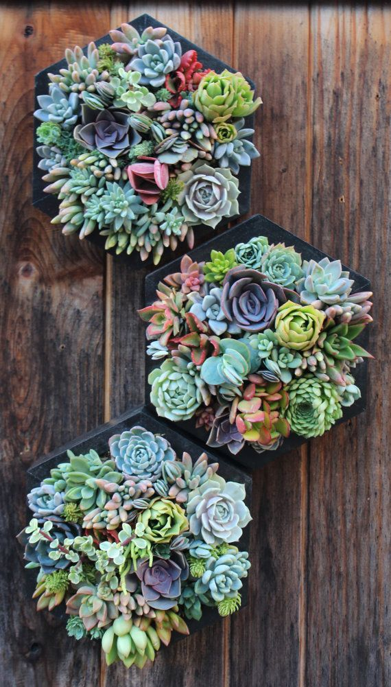 ****Made to order********Takes approx. 2 weeks to complete****** This listing is for ONE modern hexagon vertical garden filled with locally grown succulents! Ask about combined shipping!  Approx. Dimensions: 10 x 10  Color shown: Ebony Stain  All plants locally grown here in Ventura County, California. Care instructions included. Low maintenance and makes a great gift.  **Custom colors upon request. Orders take about 2 weeks to complete unless otherwise discussed. Please email me if you have…