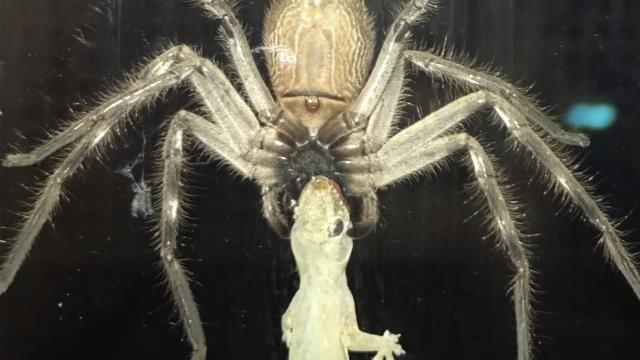 Huntsman spider...