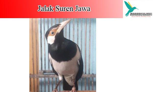 Burung Jalak Suren Cukup Populer Di Indonesia Karena Karakternya Yang Cerewet Dan Bersuara Nyaring Jika Dibandingkan Burung Lainnya Untuk Di 2020 Jalak Burung Habitat