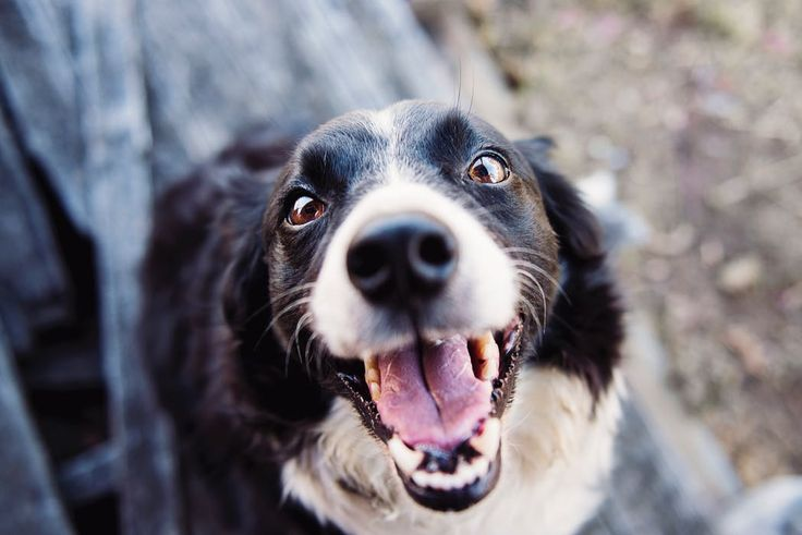 Research is showing CBD to be an effective treatment for a variety of dog ailments. See what their studying at Cornell University: https://buynectarcbd.com/2018/02/16/cornell-university-presents-first-pharmacokinetic-study-cbd-dogs/ #nectarcbd #cbd #cbdoil #cbdnectar #nectarsweet #nectaroil #hemp #hempextract #hempoil #fullspectrum #distillate #sustainable #organic #cannabis #farming #colorado #science #nature #natural #healthy #petcbd #research #science #pets #dogs