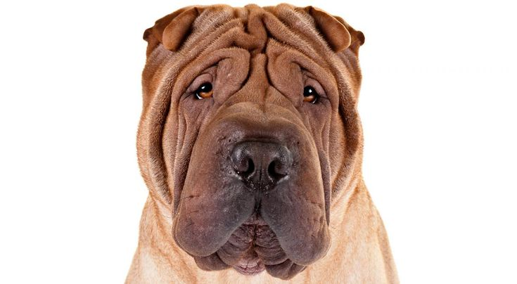 Traits Of Chinese Shar Pei 17 Best images about C...
