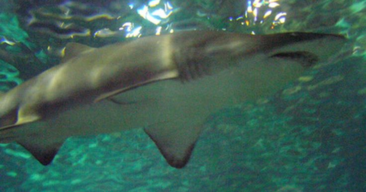 ¿Cómo respiran los tiburones?. Los tiburones son peces y casi todos los peces respiran mediante el uso de agallas. Estas son el grupo de aberturas parecidas a hendiduras que se encuentran en los lados del pez y localizadas detrás de la cabeza. Detrás de las agallas hay redes de vasos capilares complejos. Estas redes de diminutos vasos sanguíneos recogen el oxígeno del agua ...