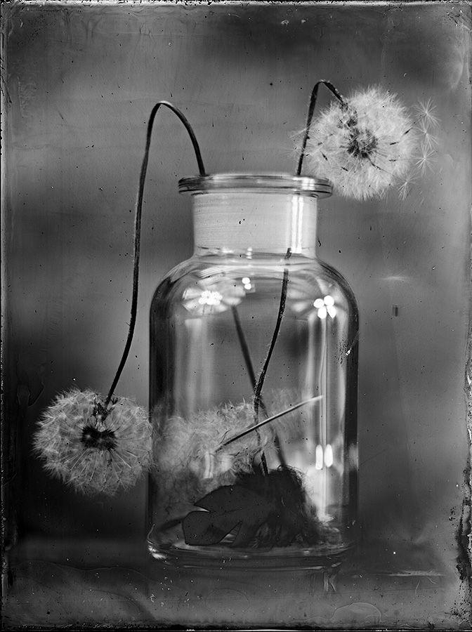 18x24cm Collodion wet plate glass negative http://blenditak.blogspot.hu/2016/05/dandelion.html