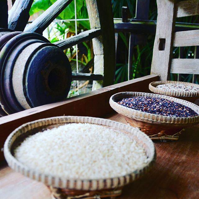 Culture du riz en thailande. #Phuket #thailand #thailande #mathailande