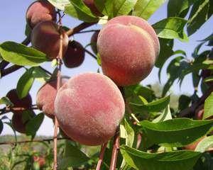 Prunus persica 'Sotsnõi', Persikoträd. Ukrainsk sort.  Gult fruktkött.  Mycket saftiga, aromatiska, och välsmakande frukter.  Mognar i början på augusti.  För varma platser.  Zon ?