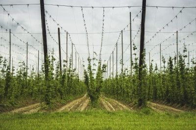 Support For Hops Vines: Learn About Hops Plant Support -  Hops can grow up to 12 inches a day. These rampant climbers need a sturdy trellis of appropriate height to accommodate their size. The following article contains information on the best support for hops plants and building a trellis for hops.