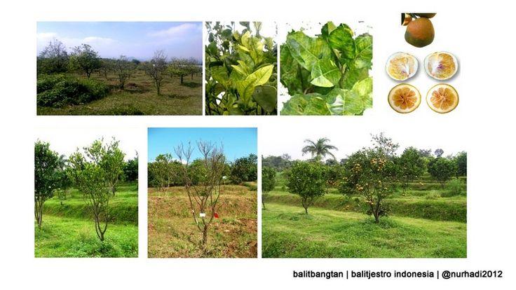 Balitjestro | Huanglongbing (HLB) di Indonesia dan Upaya Teknologi Deteksinya