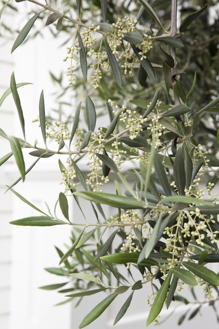 27 best OLIVE TREES images on Pinterest | House porch, Driveways and ...