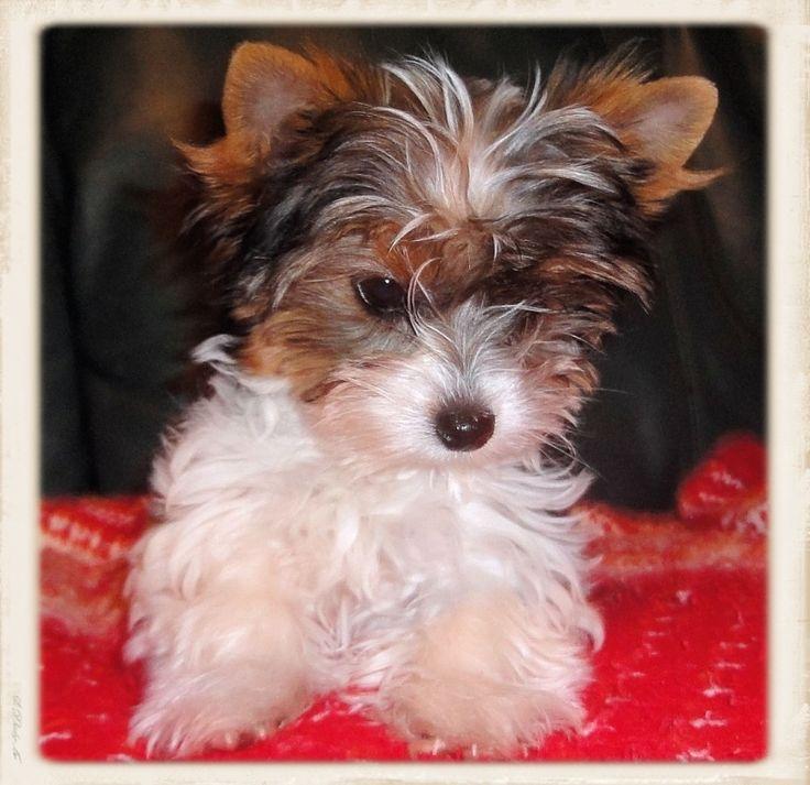 Beautiful And Cute York Terrier Dog: 2410 Best Cute Yorkies