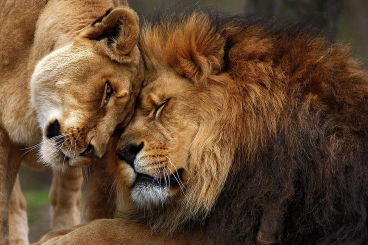 lion love | Lions In Love Photograph by Emmanuel Panagiotakis - Lions In Love Fine ...