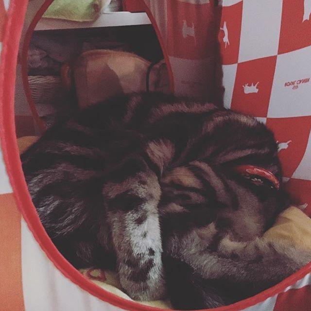 #vivi #ビビりのビビ #アメショー #アメショ #アメリカンショートヘア #American Shorthair #AmericanShorthair #愛猫 #猫 #ネコ #ねこ #猫写真 #ねこすたぐらむ #ねこ部 #cat #おやすみ