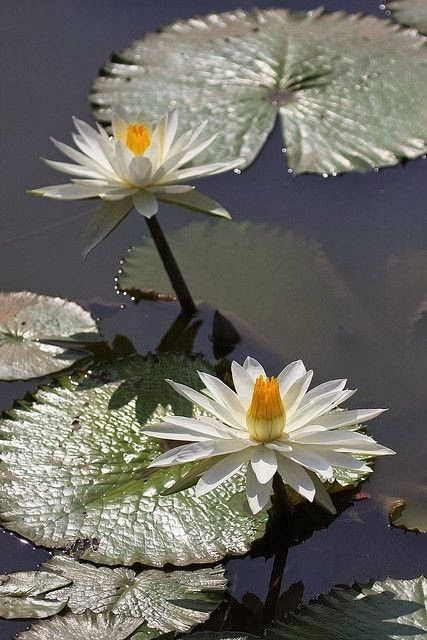 Water Lily!!! Bebe'!!! Love water lilies!!!