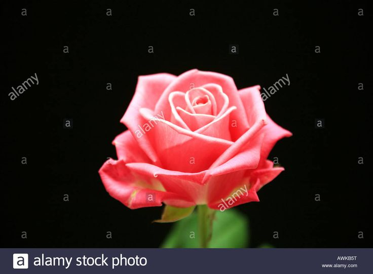 The 25+ best Single rose image ideas on Pinterest | Single rose ...