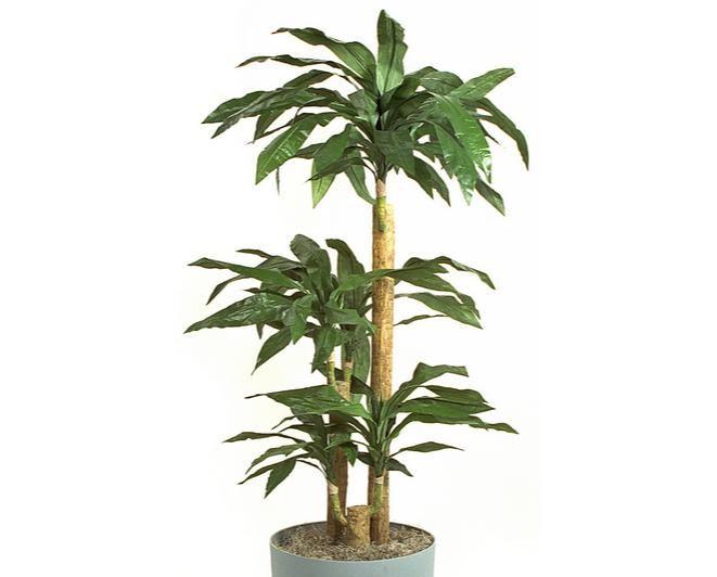 Dracaena fragrans :Ένα από τα φυτά που προτείνει η Nasa! από τα πιο όμορφα φυτά εσωτερικού χώρου κατάλληλο για νέα μοντέρνα σπίτια.