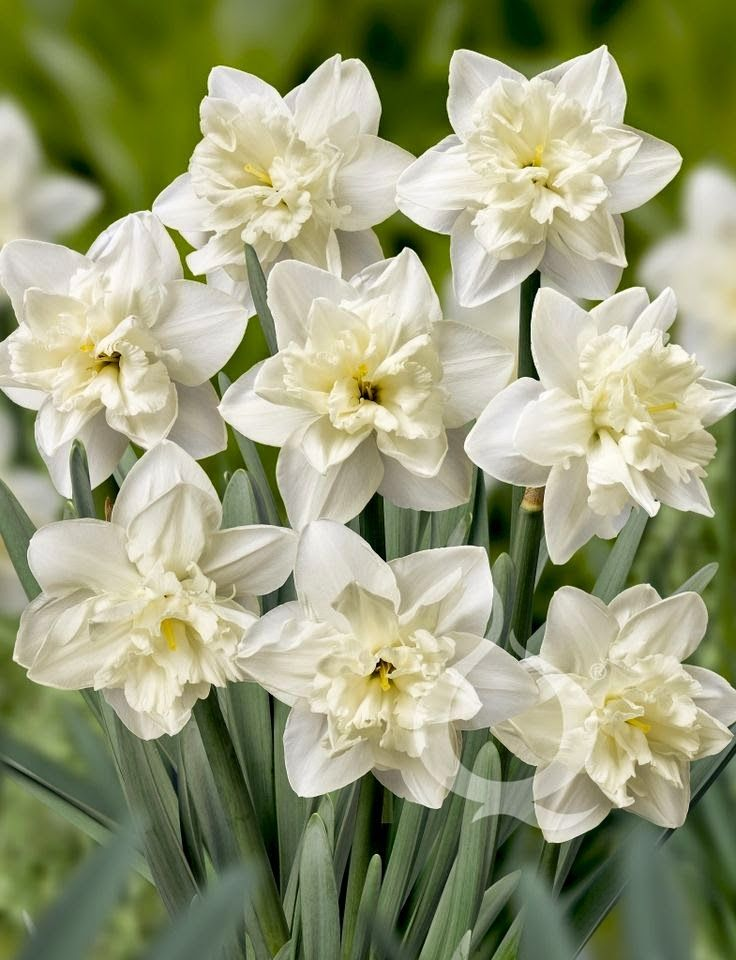 Double Narcissus
