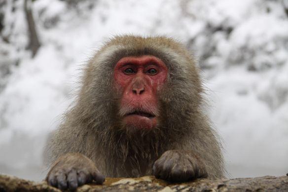 Les muscles du visage sont bien détendus | parc aux singes de Jigokudani, Japon / Snow Monkey Park, Japan