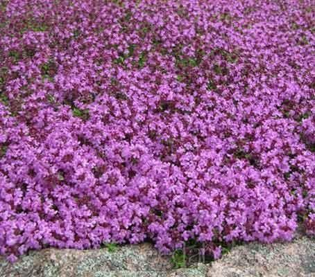 Thymus serpyllum 'Creeping Thyme' NOTE Good article but check to see if it needs full sun