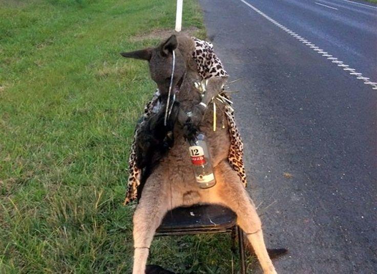Una imagen difundida por el Departamento de Medioambiente australiano el 28 de junio de 2017 muestra el cadáver de un canguro abatido a balazos y atado a una silla al lado de una carretera en las afueras de Melbourne ¨ ESTO NO TIENE PERDON , Ni De DIOS . IGNORANTES .