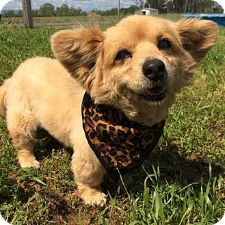 Corning, CA - Corgi Mix. Meet Etta Mae, a dog for adoption. http://www.adoptapet.com/pet/17931154-corning-california-corgi-mix