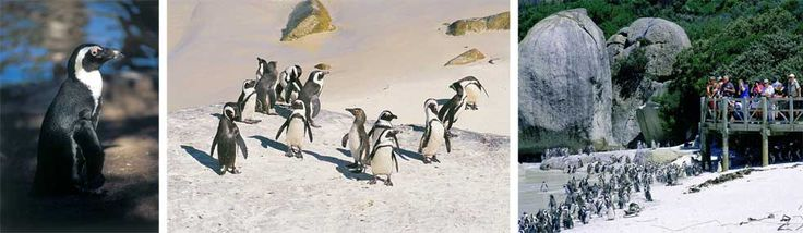 Swim with Penguins at Boulders Beach, Penguin Colony, part of Table Mountain National Park, Cape Town, South Africa
