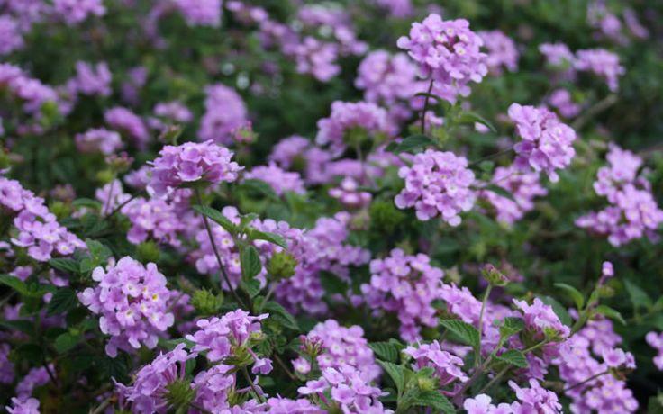 Buy Trailing Lavender Lantana For Sale Online From Wilson Bros Gardens