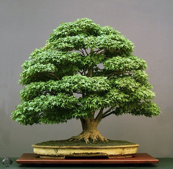 One of the most famous Bonsai trees that belongs to the collection of an European Bonsai artist (Walter Pall), this tree is incredibly fine and realistic. The maple is big (almost a meter high, which is the maximum to be called a Bonsai tree) and over a h