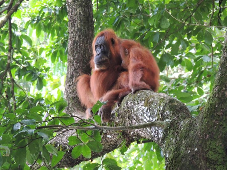 Trekking through Gunung Leuser National Park in Sumatra is one of the most adventurous things I've ever done but worth it to see orangutans like these in the wild