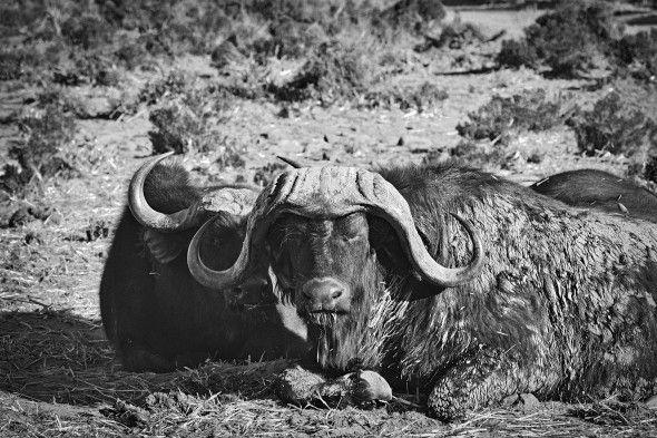 Cape buffalo.