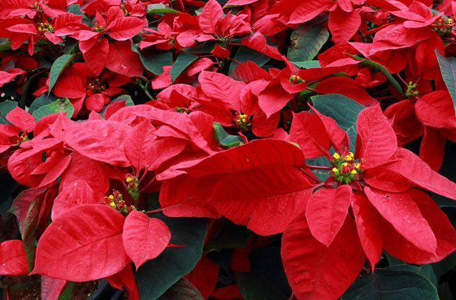 How To Grow And Rebloom Poinsettias Other Home And Types Of