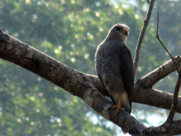 Hawk, El Imposible National Park, El Salvador