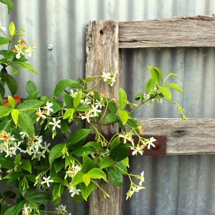 Only took a few years, but finally, my jasmine has flowered.  Jasmine, corrugated iron, and an old timber gate - a few of my favourite things.