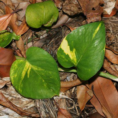 Epipremnum pinnatum – Golden Pothos