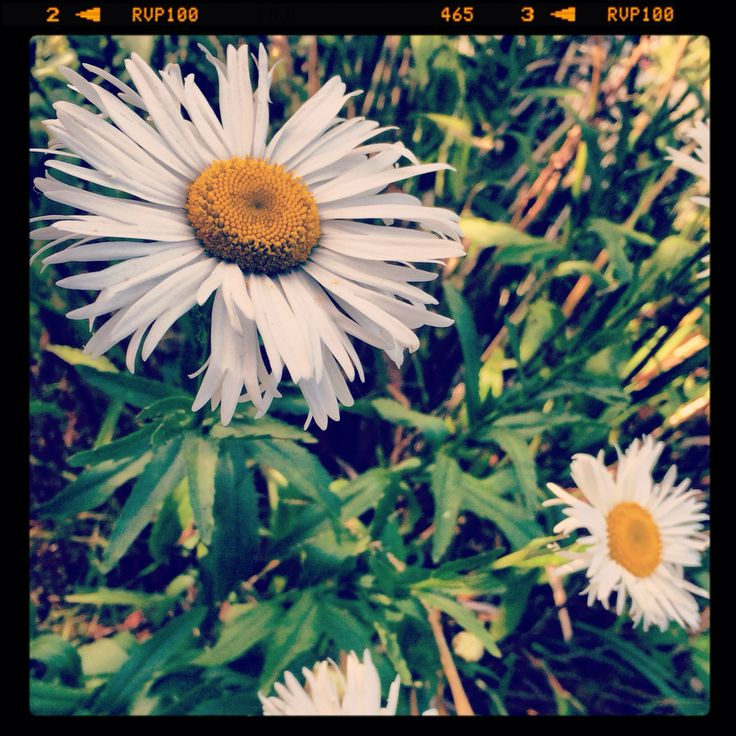 A photo a day Daisy chain dreaming