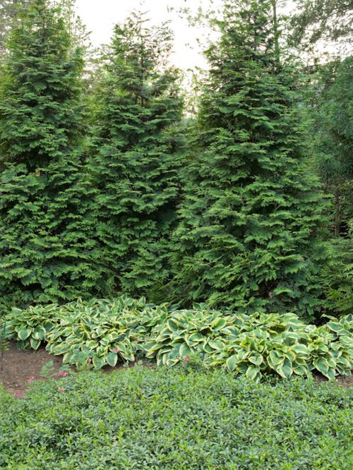 Green Giant Arborvitae grows to 25ft by 12ft