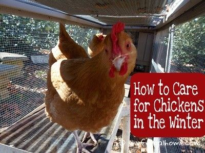 1000 Ideas About Chicken Water Heater On Pinterest