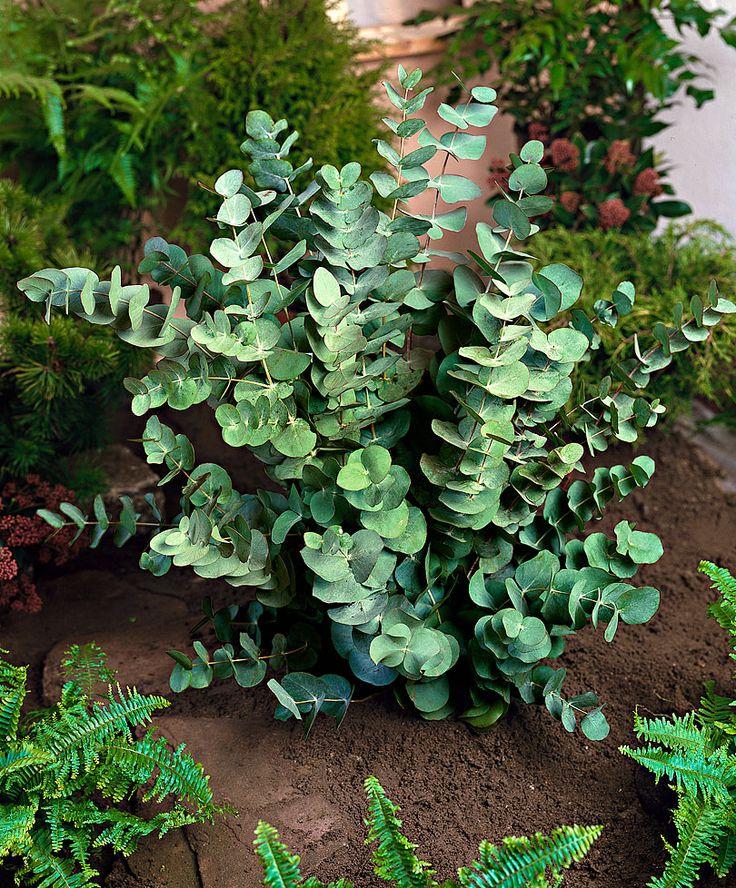 Eucalyptus gunnii | Trees £11.95