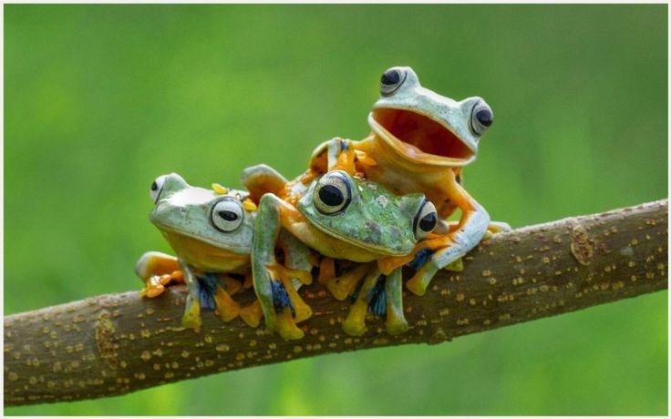 Cute Frogs HD Wallpaper | cute frogs hd wallpaper 1080p, cute frogs hd wallpaper desktop, cute frogs hd wallpaper hd, cute frogs hd wallpaper iphone