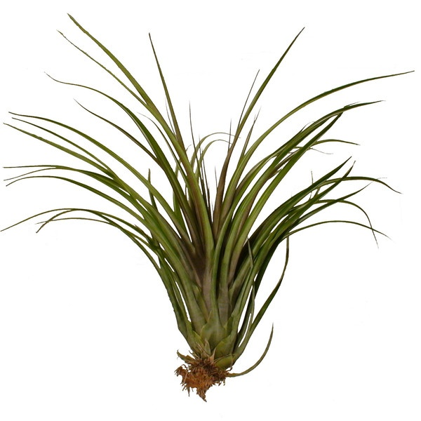 Capitata maroon air plant garden succulents airplants for Air plant decoration
