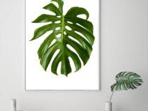 Plakat MONSTERA botaniczny roślina obrazek a3 liść