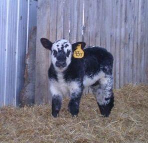 blue roan bull calf