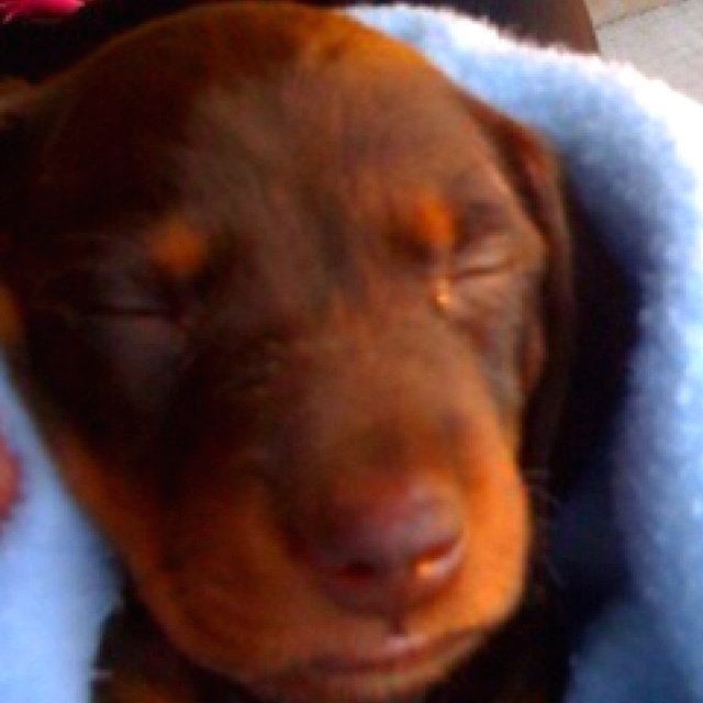 Little dotson puppy:) just a few days old:) male,chocolate,and NOT FOR SALE:)