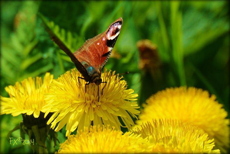 vlinder op paardebloem
