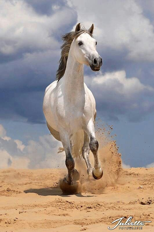Grey Horse in Sand