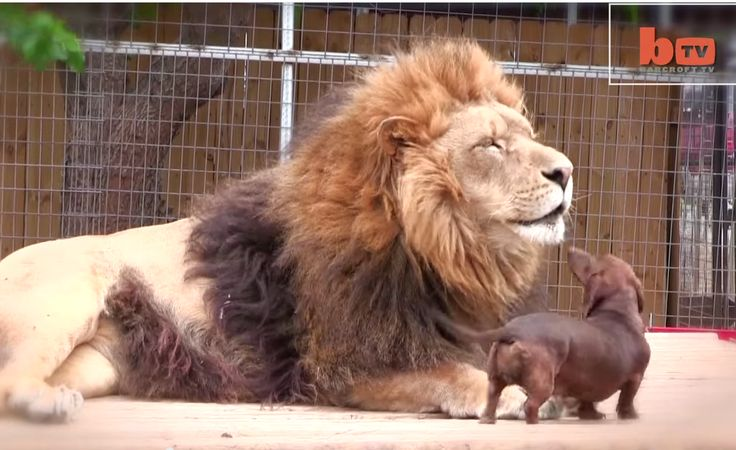 This Ferocious Big Cat Is Best Friends With A Small Dog. It's Too Precious.