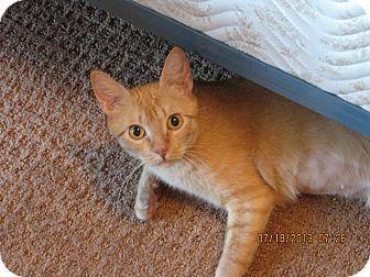 Huffman, TX - Domestic Shorthair. Meet Honey Belle, a cat for adoption. http://www.adoptapet.com/pet/10197949-huffman-texas-cat