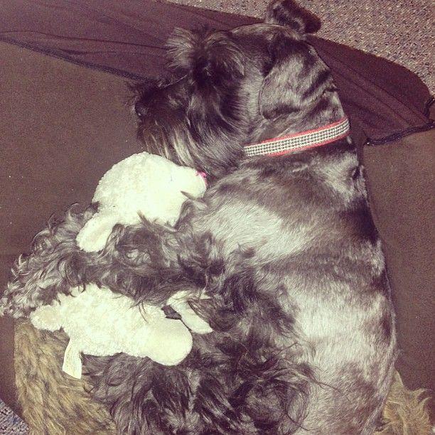 Tex caught sleeping on the job. Not a working breed... #shopdog #cuddles #bookshop #minischnauzer